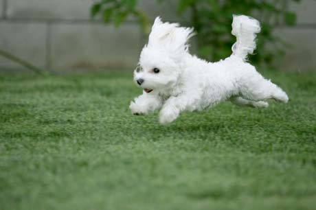 Bishon puppy running