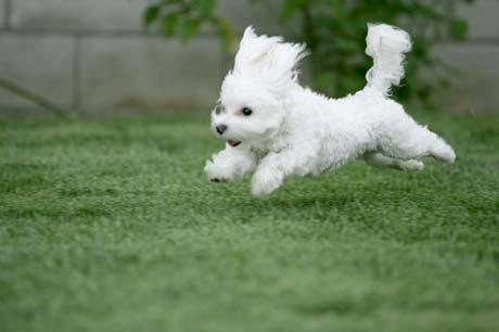 Bishon puppy running